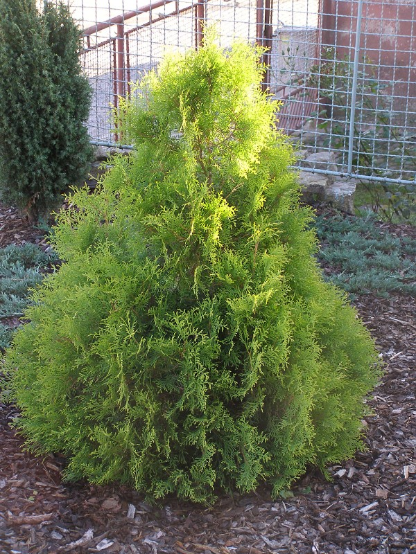 "Thuja occidentalis ""Rheingold"""